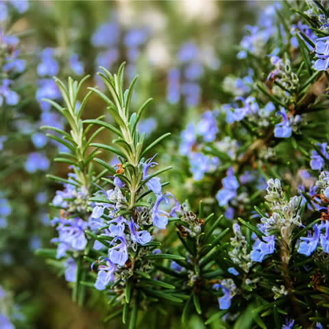 Rosmarinus Officinalis 0,15 gr Romero S