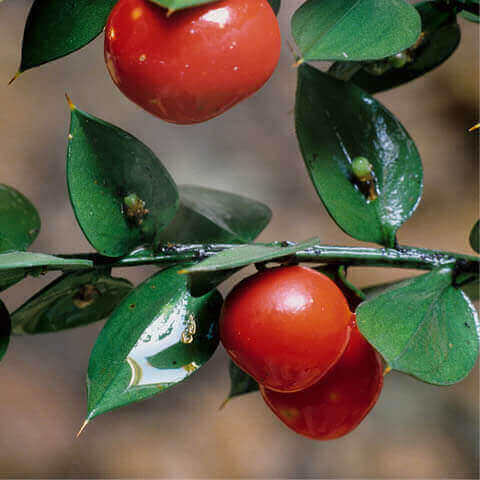 RUSCUS ACULEATUS - Butcher´s Broom