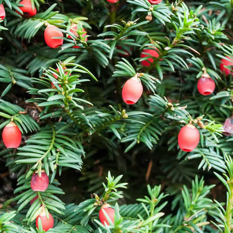 TAXUS BACCATA - Common Yew