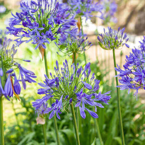AGAPANTHUS AFRICANUS Blue - African Lily