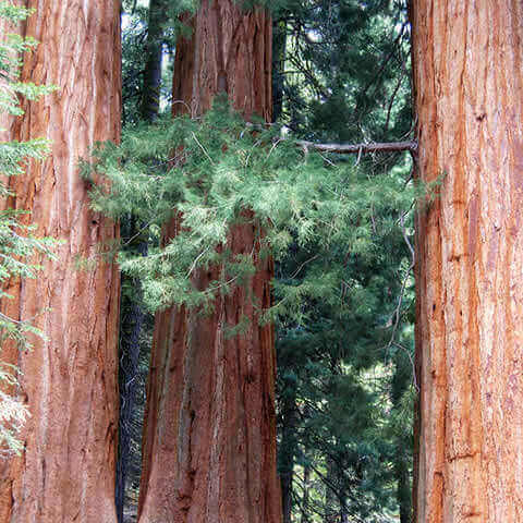 SEQUOIA SEMPERVIRENS - California Redwood