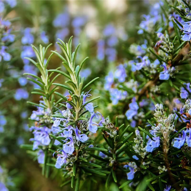 Plants of ROSMARINUS OFFICINALIS - Rosemary - The Original Garden