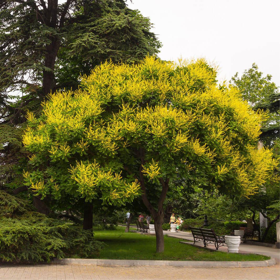 acheter plantes sophora japonica - sophora du japon - arbres