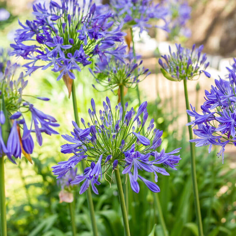 Picture of Live African blue lily aka Agapanthus africanus blue Shrubs Plant Fit 1 Gallon Pot