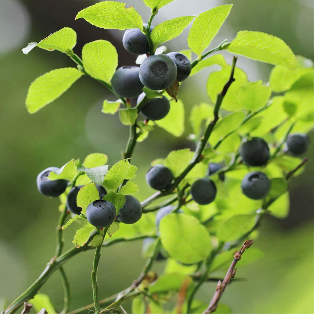 Semillas De Arándano Vaccinium Myrtillus - The Original Garden